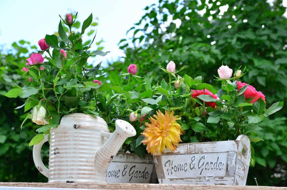 Róże rosnące w dekoracyjnych doniczkach