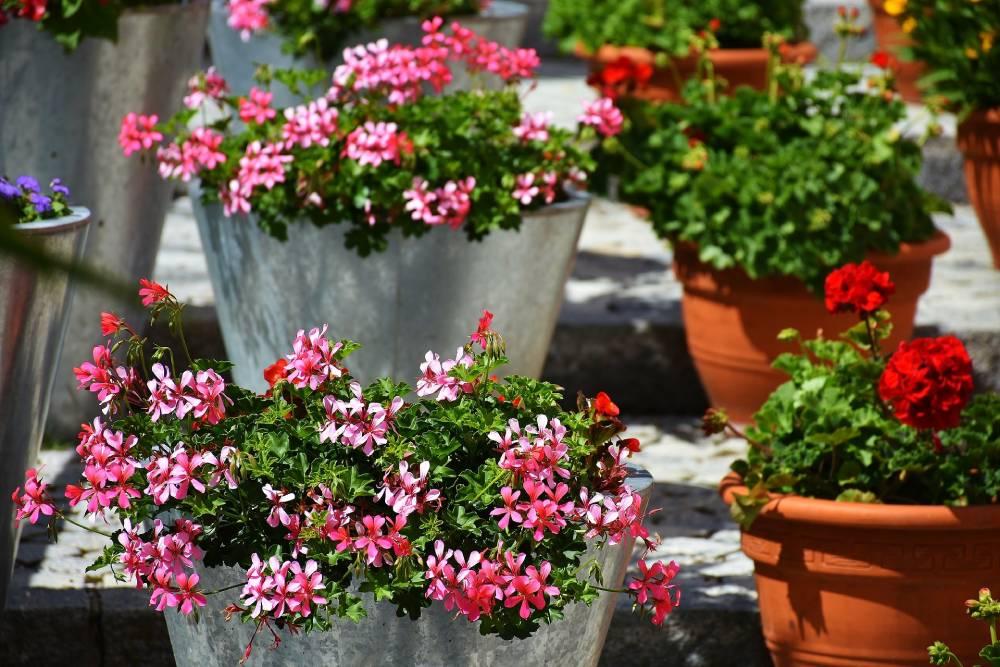 Pelargonie to doskonała roślina na nasłoneczniony balkon