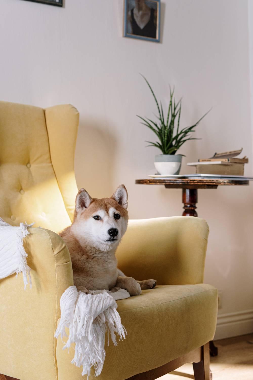 Żółty fotel uszak
