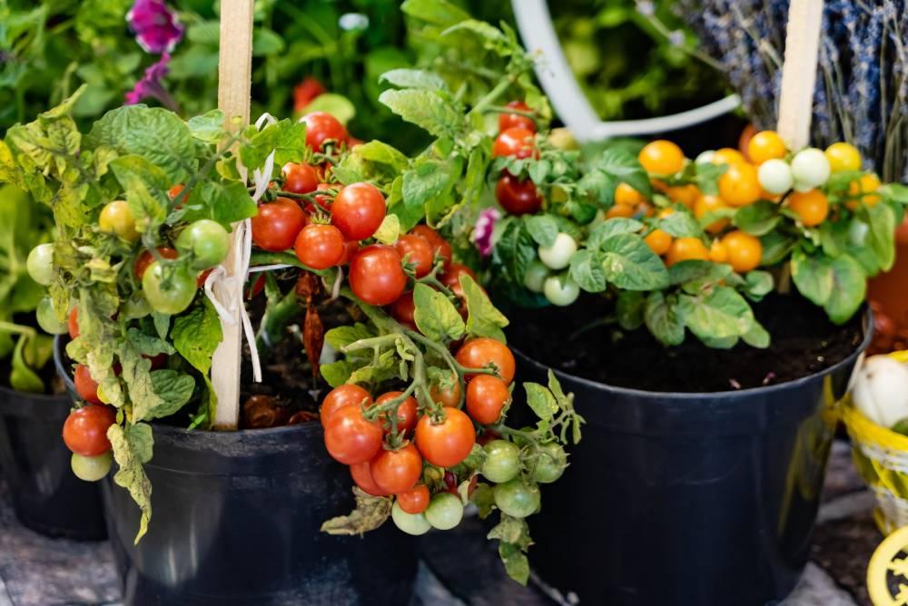 Pomidory cherry na balkonie